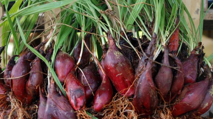 Bawang Dayak (Eleutherine palmifolia)